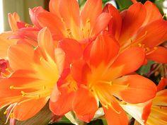 Orange Cluster Blossom of Clivia Lily Houseplant Fine Art Print - Mary Sedivy