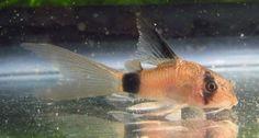 Longfin Panda Corydoras Cory Catfish Live Freshwater Aquarium Fish