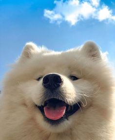 A community dedicated to the wonderful Samoyed dogs. Post anything related to Samoyeds just please read the rules before posting! Super Cute Puppies, Cute Dogs And Puppies, Samoyed Dogs, Cute Little Animals, Fluffy Animals, Dressage, Doge, Dog Pictures, Best Dogs