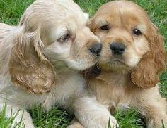 Ok, so this is MY dream... For a long time I have wanted 2, yes 2 Cocker puppies. One red named Lucy and one blond named Ethel. Someday