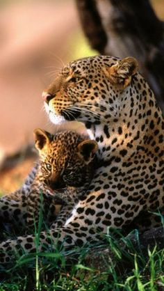 So Sweet mom and baby leopard snuggling up together!  I Love Leopards!!!