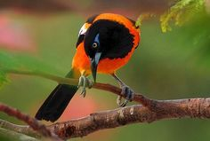 Feast Your Eyes on the Gorgeous Orange-backed Troupial - The Featured Creature