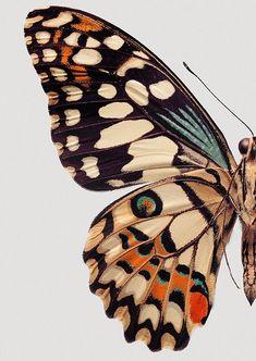 Warm and rich in contrast - Kunst Bilder - Blue Butterfly, Butterfly Wings, Monarch Butterfly, Butterfly Costume, Animals Tattoo, Drawing Animals, Drawing Art, Art Plastique, Beautiful Butterflies