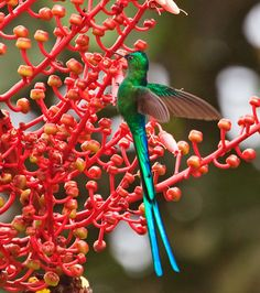Beautiful long tailed humming bird.