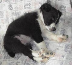 Sugar the Border Collie | Puppies | Daily Puppy