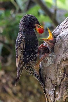 Mealtime for a Starling nestling . Pretty Birds, Love Birds, Beautiful Birds, Animals Beautiful, Common Starling, Animals And Pets, Cute Animals, Amazing Animals, Photo Animaliere