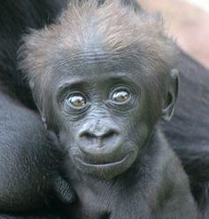 Kleine Gorilla - Burgers' Zoo