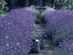 Information on growing lavender...