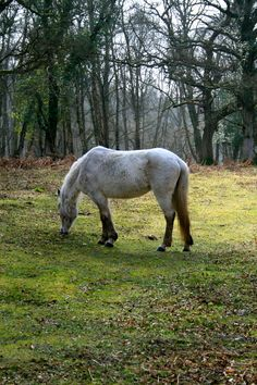 New Forest Pony - New Forest, Hampshire (April - 2011)