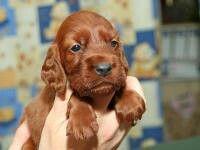 Een dot ierse setter puppy