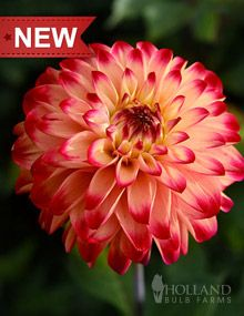 Lady Darlene Dinnerplate Dahlia