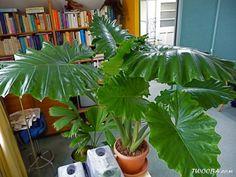 Alocasia Plant, Go Green, Indoor Garden, Plants, Home
