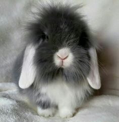 White eared lilac lionlop bunnies are cool cute animals, lop Super Cute Animals, Cute Baby Animals, Animals And Pets, Funny Animals, Bunny Art, Cute Bunny, Poodles, Holland Lop Bunnies, Baby Bunnies