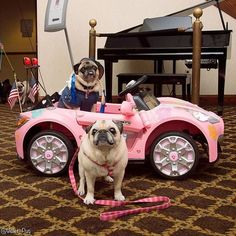 When you wish you had a set of wheels like this. Photo by @violet_pug  Want to be featured on our Instagram? Tag your photos with #thepugdiary for your chance to be featured.