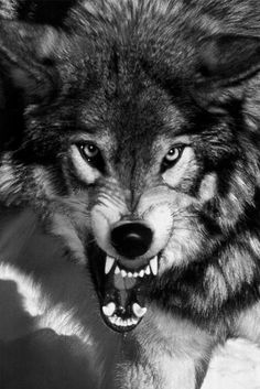 Angry wolf!