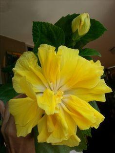 La Flor de hoy. Tan bella como efímera, por ello deseo compartir su belleza.