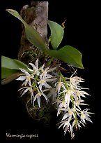 Warmingia eugeneii. A species orchid ( color)