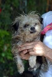 20363253 is an adoptable Yorkshire Terrier Yorkie Dog in Decatur, GA.  ...
