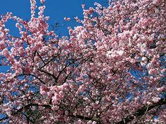 Cherry blossoms in Van.  Amazing time of year.
