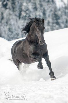 Veronica, Friesian mare. Fotografie Bettina Niedermayr