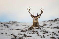 Red deer portrait by Eugene Kitsios