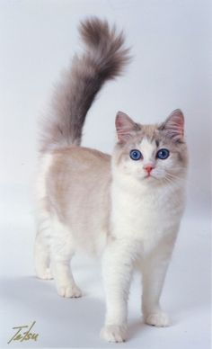 Ragamuffin Cat | Bottom: Ultiamte Rags Darling Dawn - Blue Patched McTabby & White ...