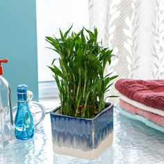 Shop powered by PrestaShop Lucky Bamboo Care, Green Nature, Indoor Plants, Layering, Glass Vase, Exotic, Gardening, Inside Plants, Lawn And Garden