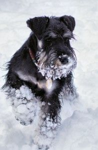 Miniature Schnauzer in the snow