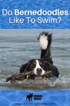 Bernedoodles are a fun-loving breed of dog whether they're running in the backyard with kids or laying by their master's feet. But is swimming something they like? Do they enjoy being in the water? We'll share it all with you here and have included some really helpful tips for introducing them to water!