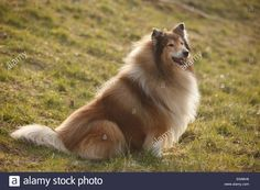 rough-collie-male-dog-sable-white-8-years-oldschottischer-schaeferhund-EN96H6.jpg (1300×956)
