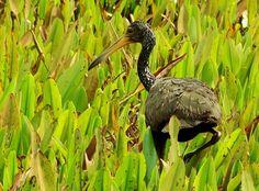Foto carão (Aramus guarauna) por Douglas Oliveira | Wiki Aves
