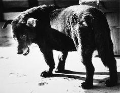 Daidō Moriyama. Stray Dog, Misawa, Aomori, 1971