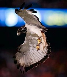 Taima, our Seattle Seahawk. She is AWESOME.
