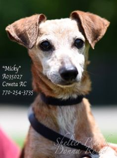"PE-3 URGENT! *RESCUE ONLY Due to Age* Breed: Dachshund Mix Sex: Male Age: Senior Size: Small Weight: 10 lbs per shelter notes at intake ID: A035027 Shelter Name: ""Micky"" Vaccinated, Heartworm NEGATIVE PLEASE CONTACT COWETA COUNTY ANIMAL CONTROL TO ADOPT THIS PET: 770-254-3735. The address is 91 Selt Road, Newnan, GA. Introducing ""Micky""! ""Micky"" is a precious little olde"