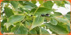 #Kâfur Nedir? Özellikleri Nelerdir? Nerelerde Yetişir?  Çok uzun ömürlü bir ağaç olan kâfur bin yıl ile iki bin yıl yaşayabilmektedir. Tropikal bitki özelliği gösteren kâfur bulunduğu bölgeye göre 20 metre ile 30 metre yüksekliği ulaşırken genişliği 5 metreyi bulabilir.  Yapraklarının boyu 5 ile 10 santim arasında olurken genişliği ise 3 ile 5 santim arasında değişkenlik gösterir. Yapraklarının rengi yeşil veya sarımsıdı