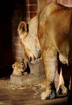 Mum & baby lion