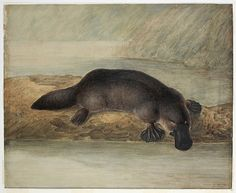 """Ornithorhynchus anatinus Platypus by John Lewin painting by John Lewin of a Platypus in Details at the library include those on the canvas.""""[Platypus], 1810 / by J. Patrick O'brian, Cultural Studies, Social Studies, Kindergarten Lessons, Australia Day, Platypus, Australian Animals, Walkabout, School Themes"""