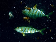 "Seriola (FR, SCI) / Yellowtail, Japanese amberjack (EN) / イナダ ""Inada""、ハマチ ""Hamachi""、ワラサ ""Warasa""、メジロ ""Mejiro""、ブリ ""Buri"" (JP)"