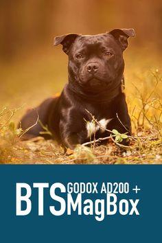 Se hvordan jeg jobber med blits utendørs når jeg fotograferer hunder.   Min første Live stream hvor jeg viser hvordan jeg jobber med lys for å ta bedre bilder av hund ute. Presentasjon av Godox AD200 og Magmod sitt blits tilbehør. Blandt annet MagBox.  #hundefotograf #hund #staffordshire bulll terrier Family Dogs, Streamers, Behind The Scenes, Pitbulls, Fine Art, Studio, Terrier, Animals, Animales