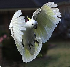 Neat pic! Sulphur Crested Cockatoo in Flight by chezem.