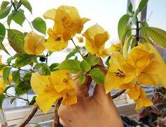 Bougainvillea 'California Gold' - Everblooming Houseplants Flowering House Plants, Air Layering, Tiny Oranges, Mother Plant, Peat Moss, Types Of Soil, Potting Soil, Grow Lights, Orange Flowers