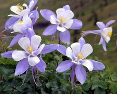Colorado Columbine | Nature's Seed