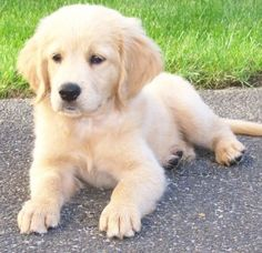"""how could you not want this puppy? miniature golden retriever or """"comfort retriever"""""""