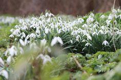 Galanthus nivalis (sneeuwklokje) is een rijk bloeiend bolgewasje dat in de ...