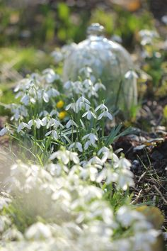 Springtime in the Garden - what a wonderful sight to behold after the long winter months!  #snowdrops