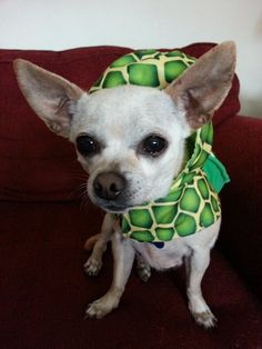 Here is Bonita, one of the sweetest girls around. At 8 1/2 years old, she has a lot of years and lap time ahead of her. She loves to cuddle, walks well on a leash, is dog friendly, & loves to dress up. Bonita has been waiting since Oct. 2014 for just the right person to find her. Located in Fresno,Ca. Please pin little Bonita & let's find her forever home soon❤️for more info, please call 559-261-5746 or elderpawsrescue.com