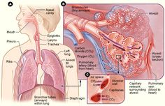 Lung Anatomy: Showing Gas Exchange