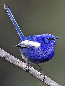 White-winged Fairywren are found from drier parts of central Australia and across S. and W. Austrailia.