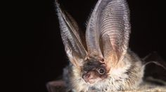 Image copyright Hugh Clark  Image caption  Brown long-eared bat - This bat's huge ears provide exceptionally sensitive hearing  Scientists are studying the urban life of bats in unprecedented detail using sensors installed in a London park.The detectors eavesdrop on the nocturnal chatter of bats, picking up their ultrasonic calls and monitoring bat activity in real-time.