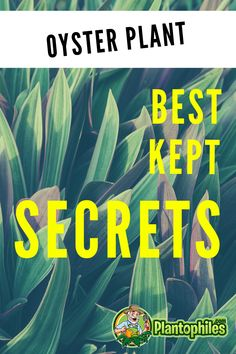 Know all the secrets about oyster plant care #plantophiles #howtotakecareofoysterplants #tradescantiaspathacea Outdoor Plants, Air Plants, Oyster Plant, Scale Insects, Types Of Bugs, Build A Greenhouse, Replant, Plant Needs, Trees And Shrubs